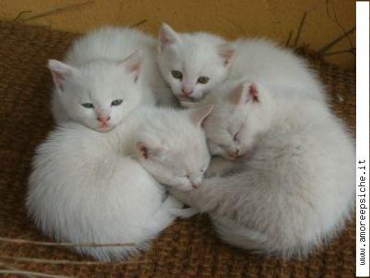 Amato Perchè Molti Gatti Bianchi sono Sordi?!? QC49